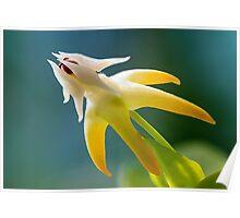 Shooting Star Hoya Flower Poster
