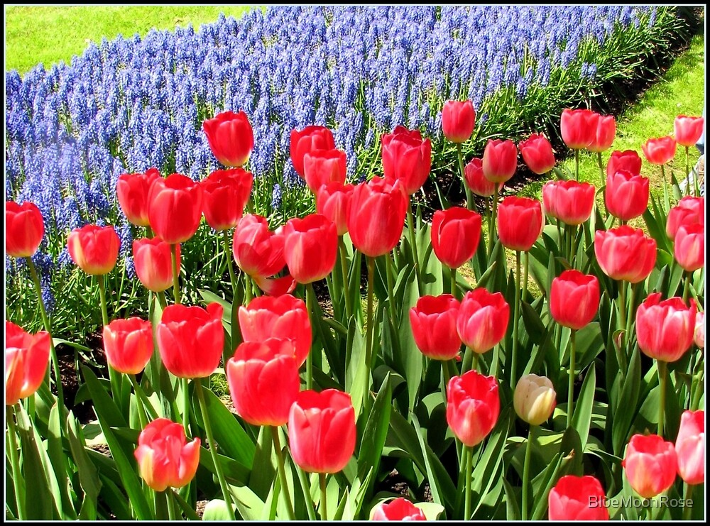 Dutch Splendour - Red Tulips and Blue Muscari by BlueMoonRose
