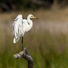 Egret by Kym Bradley