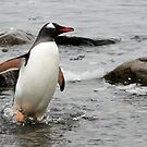 Gentoo Penguin ~ &quot;Gawd it&#x27;s Cold&quot; by Robert Elliott