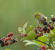 Silver eye with blackberries by Kym Bradley