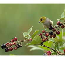 Silver eye with blackberries Photographic Print