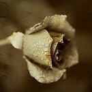 a dying rose by Clare Colins