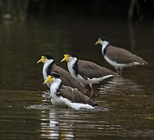 Masked Lapwings by Kym Bradley