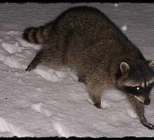 Our Raccoon Visitor In The Snow Tonight by Jonice