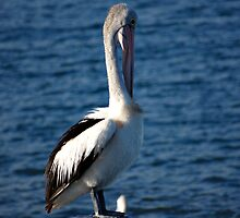 PELICAN PROFILE by Cheryl Hall