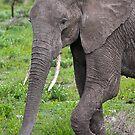 Safari II by Nickolay Stanev