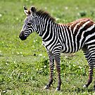 Zebra Foal by Nickolay Stanev