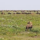 Hyena Buffet by Nickolay Stanev