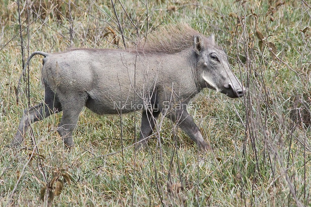 Warthog by Nickolay Stanev