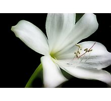 Orton Lily Photographic Print