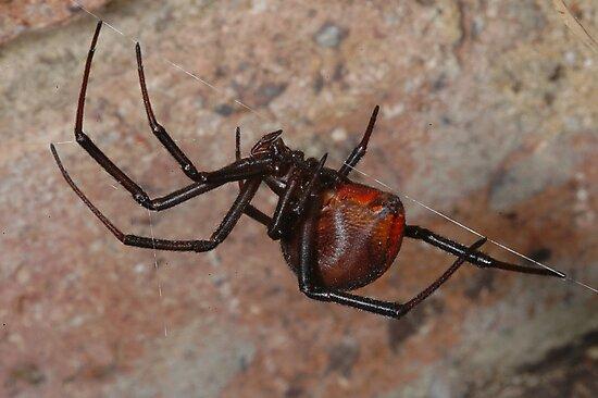 The infamous Aussie Redback Spider (2) by Trevor Needham