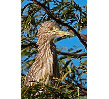 Black-crowned Night Heron Photographic Print