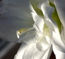 Amaryllis by SmoothBreeze7