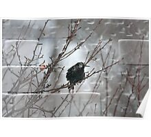 Starling In Winter Poster