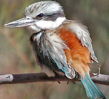 Red Backed Kingfisher Alice Springs NT by Adrian Paul