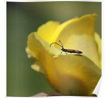 Milkweed bug on yellow rose Poster
