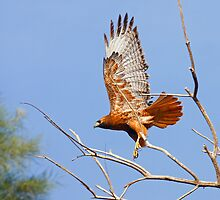 Red Tailed Hawk (Dark Morph) by Marvin Collins