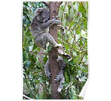 Sleeping Koalas Poster