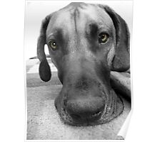 Big Dog with Brown Eyes Poster