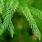 Norfolk Christmas Pine by Pamela Hubbard