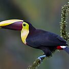 Black-Mandibled toucan - Costa Rica by Jim Cumming