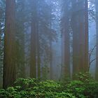 REDWOODS, FOG by Chuck Wickham