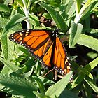 Monarch butterfly by mariapar