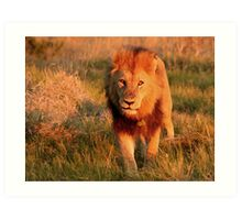Male Lion at sunset Art Print