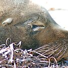 Sea Lion, Esperance, Western Australia by Adrian Paul
