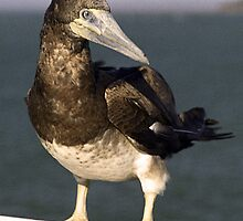 Brown Booby Bird - Hervey Bay, Queensland by Bev Pascoe