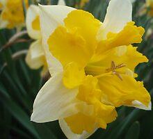 Daffodil by presbi