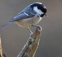 Coal Tit by Neil Bygrave (NATURELENS)