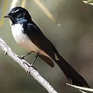Willie Wagtail ,Trephina Gorge, Northern Territory, Australia by Adrian Paul