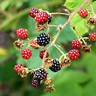 Wild Blackberries by Lesliebc