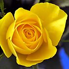Golden Rose,,,,,,,,,,,,,, by lynn carter