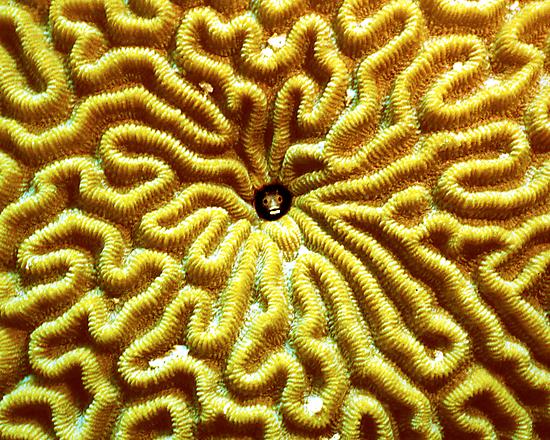 Gobi in Brain Coral by Dan Sweeney