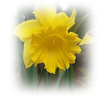 Narcissus Daffodil In It's Beauty Photographic Print