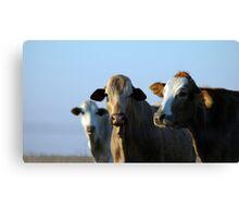 Confident Cows Canvas Print