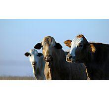 Confident Cows Photographic Print