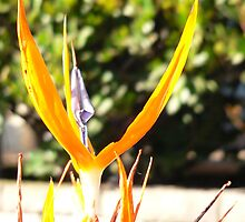 Bird of Paradise head feathers. by teatime