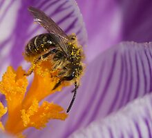 Pollen covered bee on crocus by erbephoto