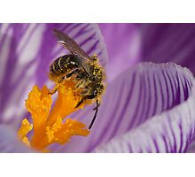 Pollen covered bee on crocus Photographic Print