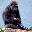 Female Mountain Gorilla by Johnny Furlotte