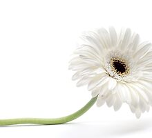 white gerbera by peterwey