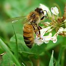 Honey Bee Feast of the Clover by Ron Alcorn