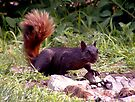 Black Squirrel  by Johnny Furlotte