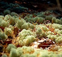 Mossy Moss by Zach  Schible