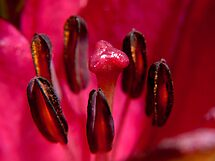 The Heart of a Lily by Beth A