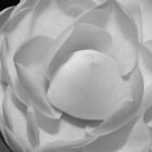 Black and White Camelia by Christine Barry